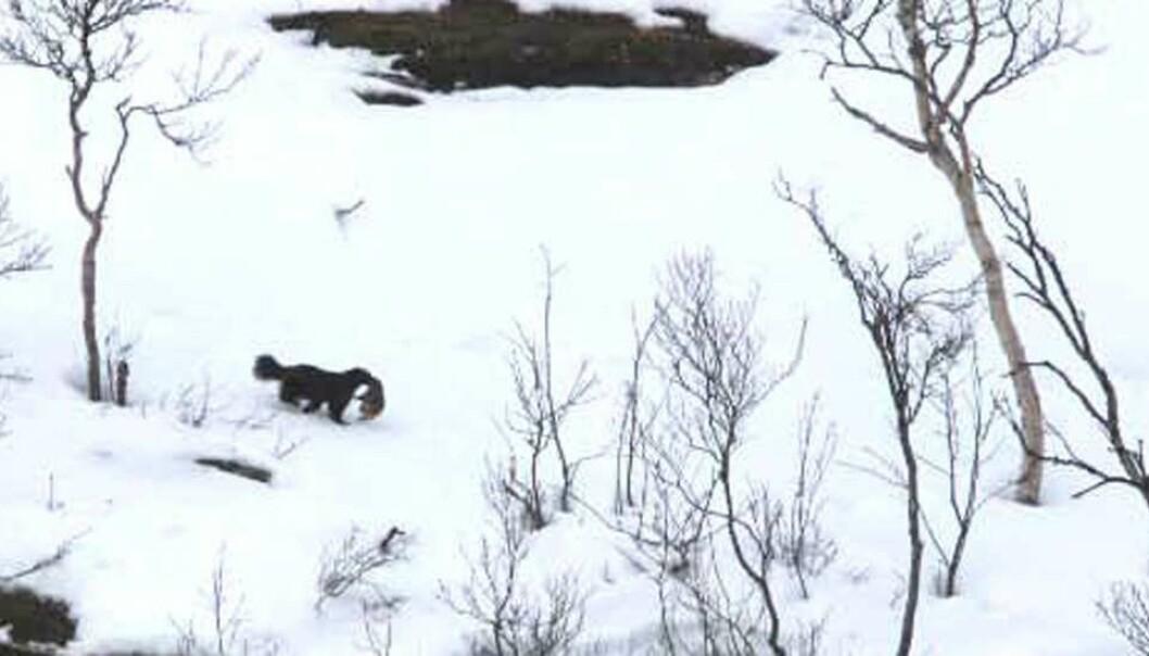 Her flytter en jervetispe valpen sin.  (Arkivfoto: Torkjell Morset/Statens naturoppsyn)