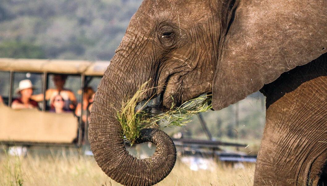 Kathrin Jathe angrar på elefant-safarien i Sri Lanka, og trekkjer parallellar til uansvarleg viltturisme i Noreg. Illustrasjonsfoto: Nicholas Murawski - Unsplash.