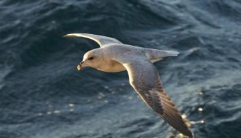 Havhest på Svalbard. Et stoff som fuglene assosierer med mat, samler seg rundt og på plastbitene i havet, ifølge en ny studie. Dermed kan det hende at en del sjøfugl lures til å spise dem. (Foto: Steinar Myhr, NN, Samfoto, NTB scanpix)
