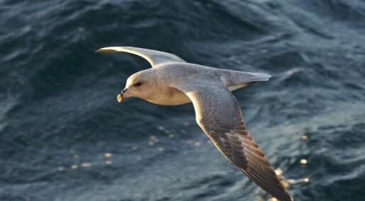 Hvorfor spiser sjøfugler plast?
