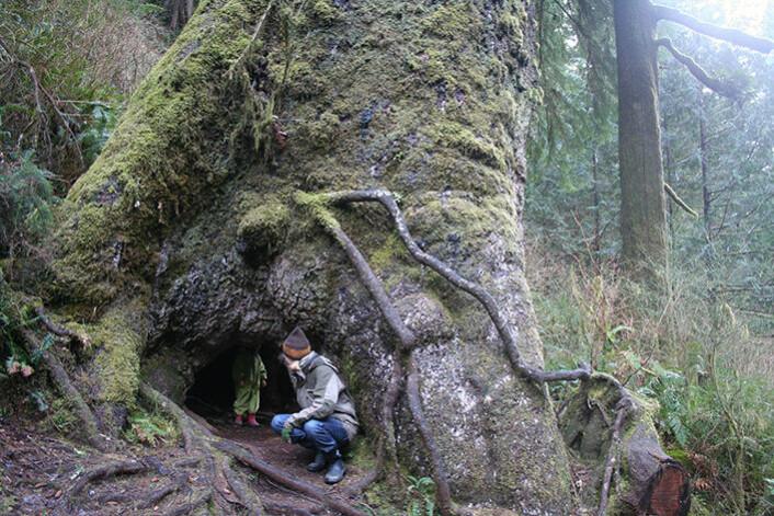 Man blir liten i forhold til sitkagran i Oregon. U.S.A. (Foto: Heini & Teppo Räma.)