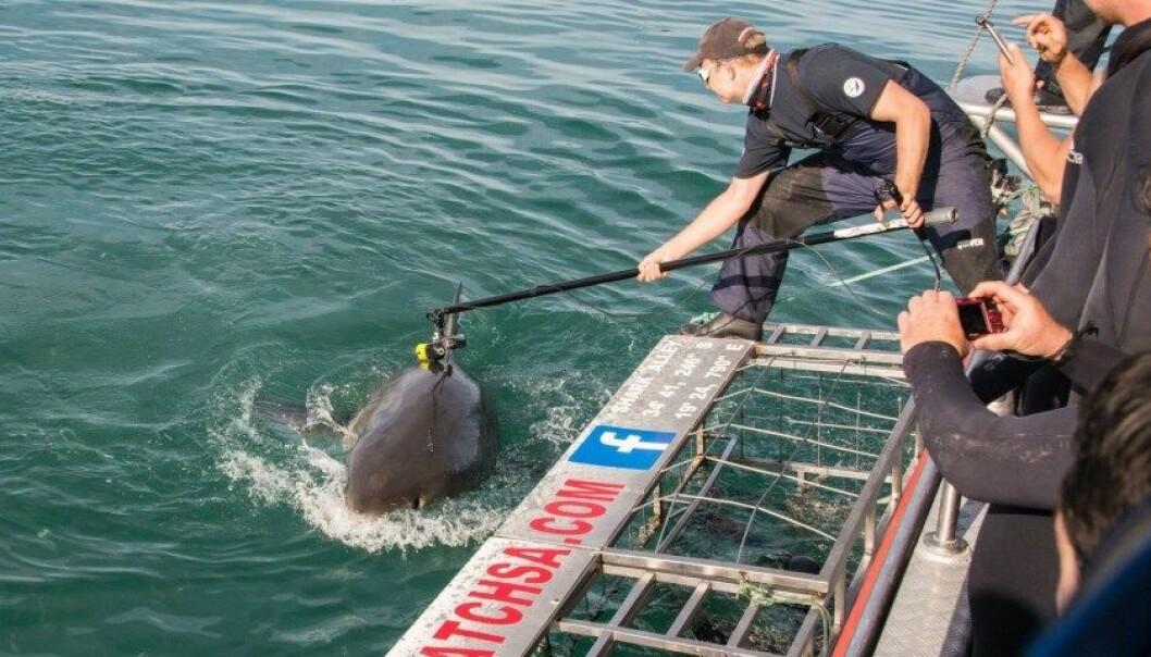 Her fester doktorgradsstudent Oliver Jewell et kamera på ryggfinnen til en hvithai. Så dykker haien ned i dypet. (Foto: Anna Phillips, Marine Dynamics)