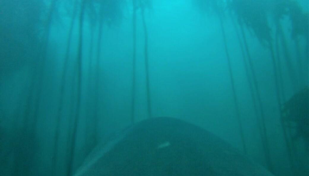 I den unike videoen ser du seljakten gjennom et kamera på hvithaiens ryggfinne. (Foto: Jewell et al. 2019 Biology Letters)