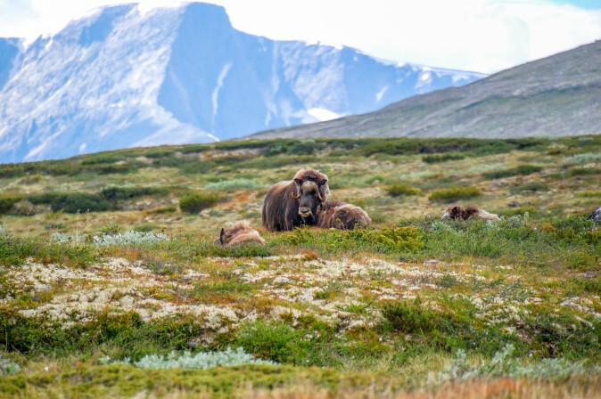 Moskusoksen er et av de dyrene som kan tåle høyere temperaturer, selv om det gjør at de blir mer utsatt for sykdom. (Foto: Marek Rybar / Shutterstock / NTB scanpix)