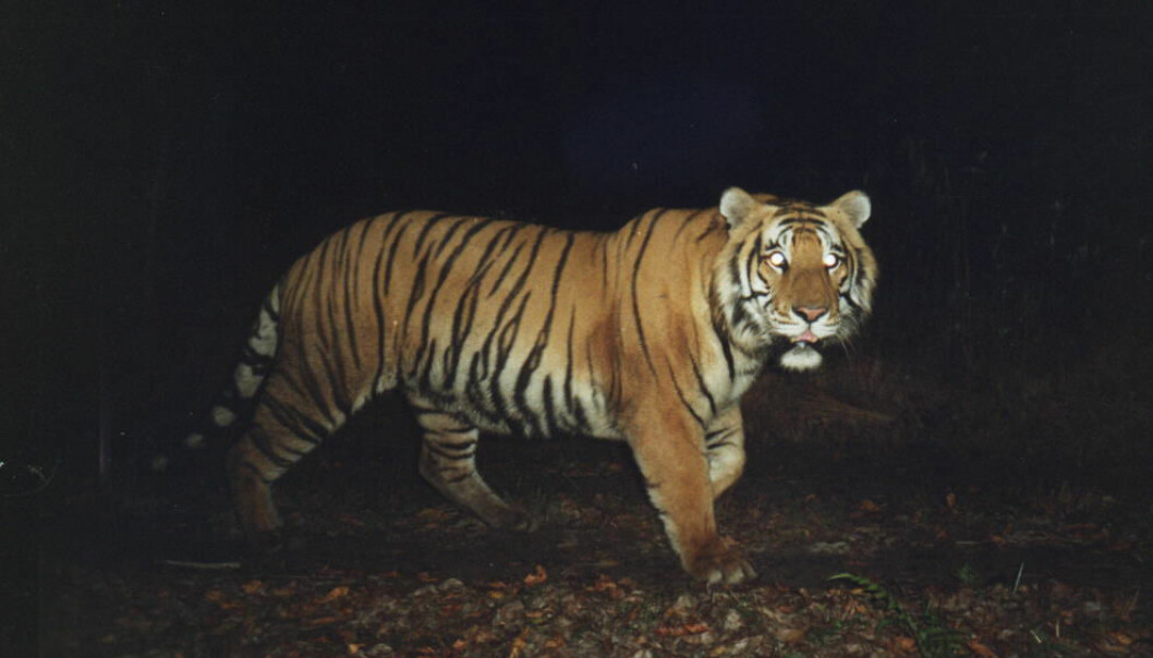 De majestetiske tigrene krever mye plass og god tilgang på byttedyr.  (Foto: Per Wegge/ NMBU)