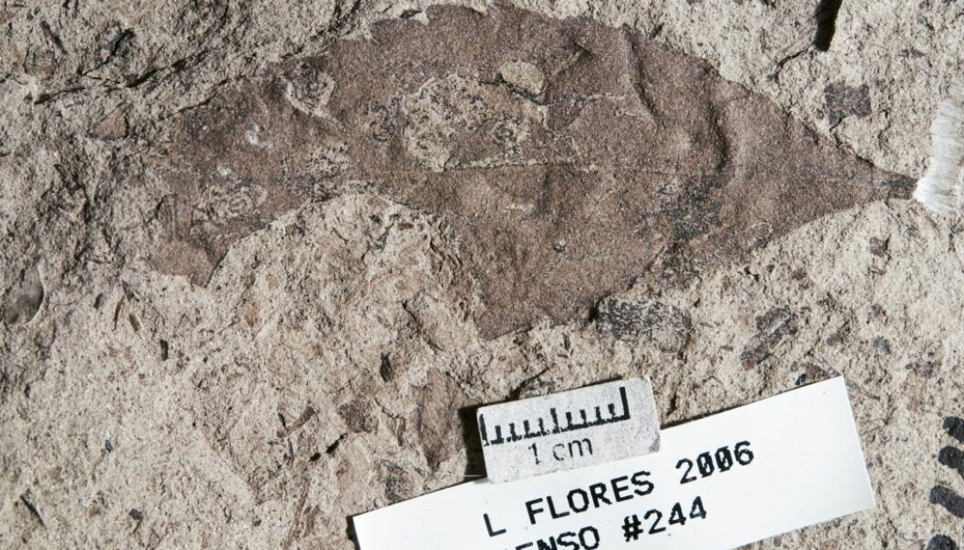 Øverst til høyre på dette bladfossilet er det spor av «gruvene» til insektlarver. Fossilet ble funnet i Las Flores i Patagonia i Argentina. Det er rundt 62 millioner år gammelt og viser at planter og insekter har funnet tilbake til hverandre etter asteroidesmellen noen få millioner år tidligere. (Foto: Michael Donovan)