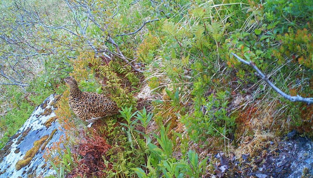 Bilde 1: Radiomerket lirypehøne tar en pause i rugingen og speider utover landskapet fra en fjellside i Lierne. Foto NINA