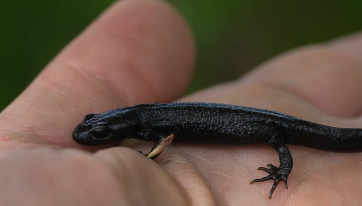 Et lite opphold i en varm hånd gir nytt håp for en optimistisk salamanderungdom. Foto: Børre K. Dervo / NINA.