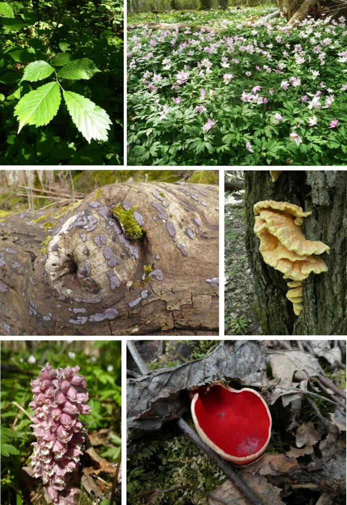 Alm og hvitveis, almekullsopp og svovelkjuke, skjellrot og skarlagen vårbeger er bare noe av mangfoldet vi finner i en edelløvskog. Foto: Siri Lie Olsen.