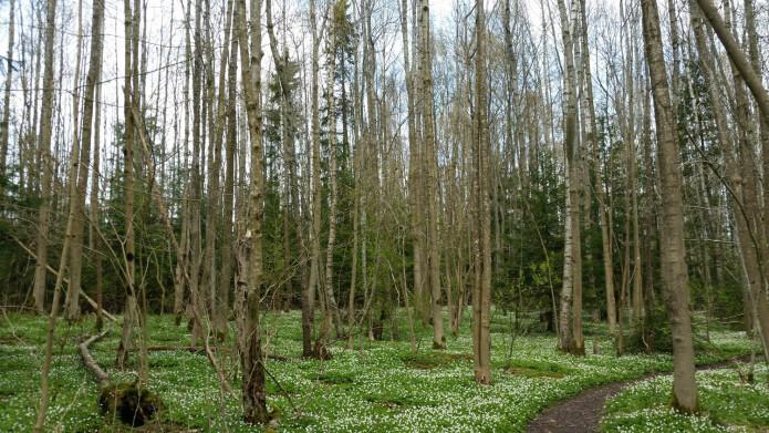 Unge blandingsskoger på gjengrodde arealer er et godt utgangspunkt for restaurering av artsrik edelløvskog. Foto: Siri Lie Olsen.