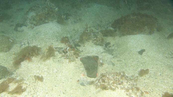 Skjellsand, grus og stein på rundt 100 m dyp nord for Bjørnøya. På grunn av den sterke bunnstrømmen er det nesten som i en sandstorm, noe som gjør det vanskelig å få skarpe bilder. Likevel er det flere dyr som lever i dette miljøet og faktisk liker slike forhold. Avstanden mellom de røde lasterprikkene er 10 cm. (Foto: Mareano/Havforskningsinstituttet)