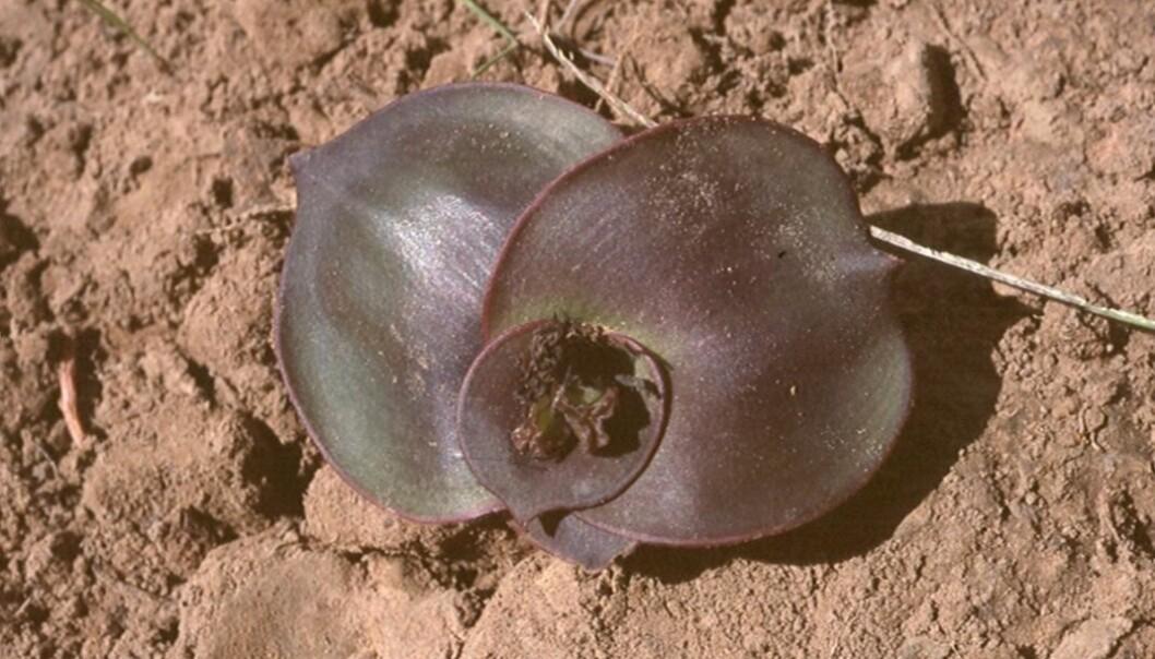 Dette er også planten Chlorophytum blepharophylla. På bilde kan du se planten som ble funnet på savannen. (Foto: Gry Støvind Hoell)