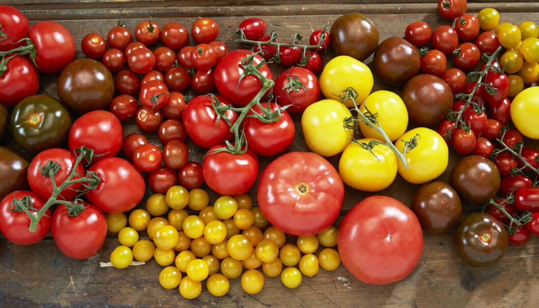 Kjemi og smak henger godt sammen i en tomat. Det gjorde det enkelt for smaksforskerne å konstruere de nye tomatene du nå finner i grønnsaksdisken. (Foto: Synøve Dreyer / Opplysningskontoret for frukt og grønt/Creative Commons)