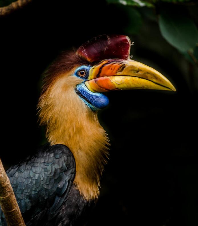 Hjelmhornfuglen blir jaktet på for sitt flotte nebb. (Foto: Farbenkind, Shutterstock, NTB scanpix)
