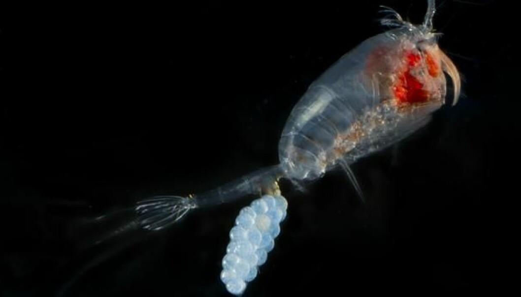 Det finnes 10 000 arter av hoppekreps – men bare noen få nøkkeltrekk som beskriver dem på tvers av arter. (Foto: DTU Aqua)