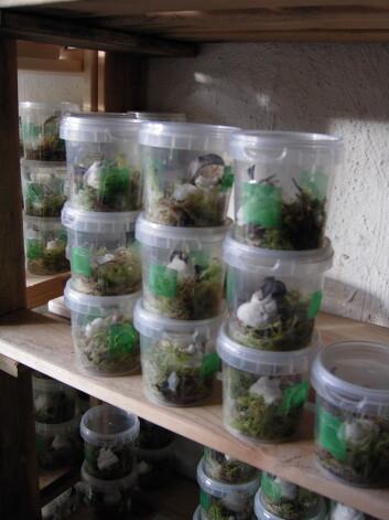 Trond Elling Barstad har levd med planteveps i boks både hjemme og på jobb i flere år. (foto: Trond Elling Barstad)