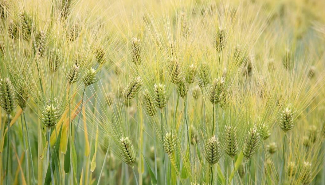 Bygg var blant de første kornsortene som ble dyrket på de britiske øyene. (Bilde: Cliff/CC BY 2.0)