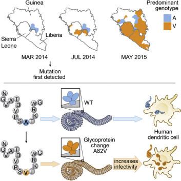 Figuren viser hvordan den nye varianten av ebolaviruset (i gult) raskt ble den mest dominerende. Denne typen er bedre rustet til å angripe menneskeceller, skriver forskerne. (Foto: (Illustrasjon: Luban et al./Cell 2016))