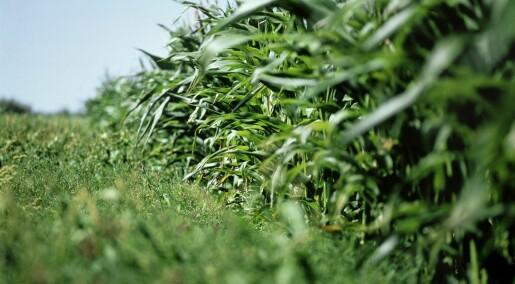 Forskeren forteller: Kan genmodifiserte planter gi oss flere antibiotikaresistene bakterier?