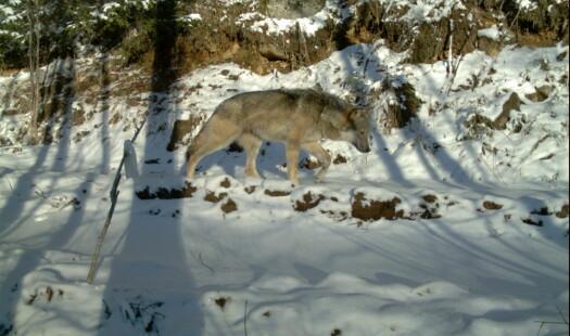 Ulvenes gener kan spores østover