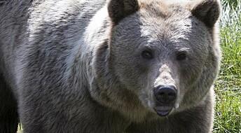 Forskere har for første gang oppdaget finske bjørner i Sverige