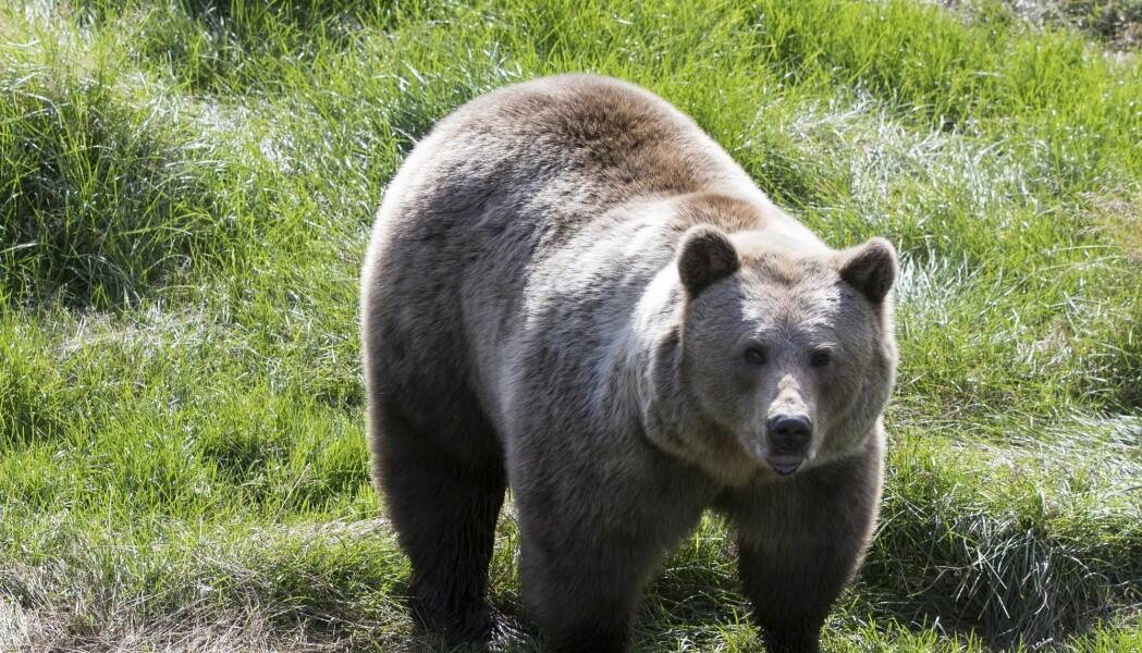 Forskere har oppdaget finske bjørner i Sverige. Her er en bjørn fra Namsskogan familiepark i Trøndelag. (Foto: Berit Roald, NTB scanpix)
