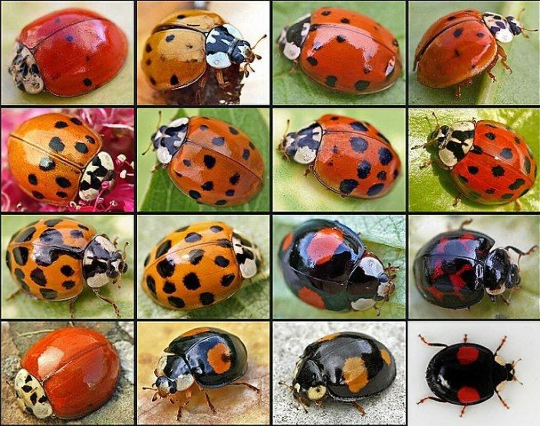 Harlekinmarihøna er en fremmed insektart som dukket opp i Norge i 2006. Den kan ha svært ulike fargevarianter. (Foto: ©entomart)