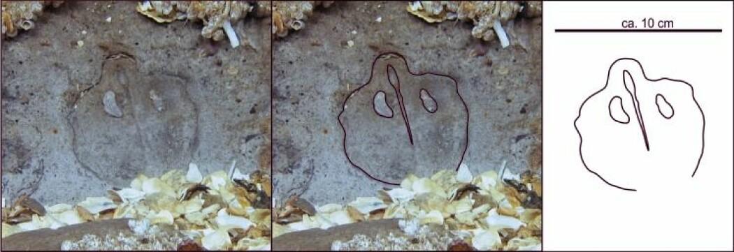 """SKREVET I STEIN: Utformingen viser et noe bølgete og relativt symmetrisk omriss, så å si speilvendt på hver side av en rett stripe som på bildet går på skrått ned mot høyre. På hver side av denne stripen er det to nesten like store """"knagger"""". Fossilet er en productus brachiopode. Illustrasjon: Frank Jakobsen."""