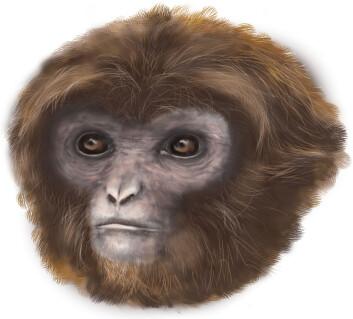 Slik ser en kunstner for seg den utdødde apen <em>Pliobates catalonia</em>. (Foto: (Illustrasjon: Marta Palmero, Institut Catalá de Paleontologia Miquel Crusafont))
