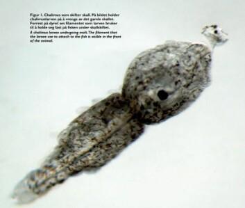 Dette nærbildet viser en lakselus i chalimus-stadiet som er i ferd med å skifte skall. Øines tror det er størst sannsynlighet for at disse krabaten kan sitte igjen på fisken i butikken. (Foto: R. Skern-Mauritzen og C.Marlowe/Havforskningsinstituttet)