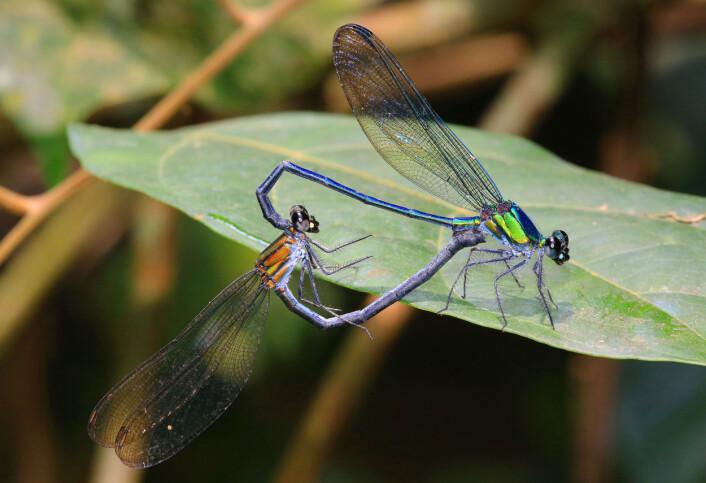 To parende vannymfer av arten <em>Umma gumma</em> (Foto: Jens Kipping)