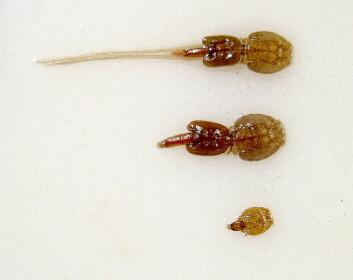 Bildet viser en voksen hunnlus (øverst), en hannlus (midten) og en unglus (nederst). Lus som er i det stadiet Øines viser til, er mye mindre enn unglusa. (Foto: Thomas Bjørkan/Wikimedia/CC BY-SA 3.0)
