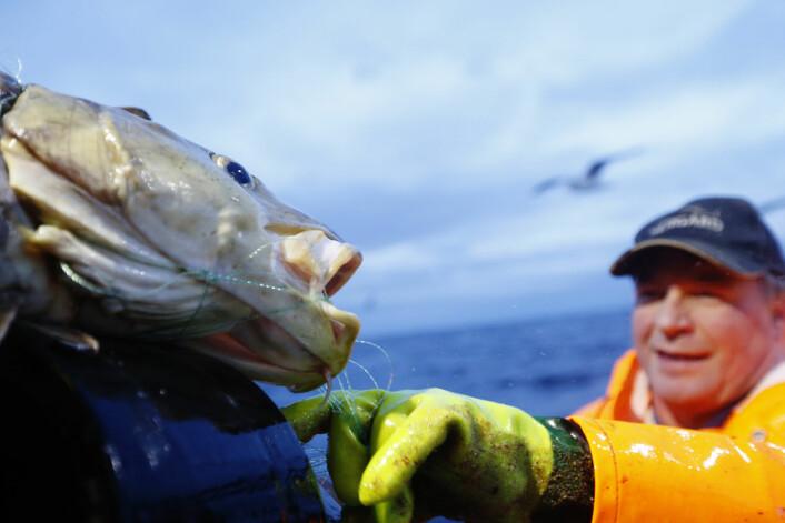 Skipper Trond Dalgård fisker etter skrei på havet ved Gryllefjord på utsiden av Senja under lofotfisket i fjor. - Når vi snakker med lokale fiskere, så sier de «det er skrei», og de har rette i 90 prosent av tilfellene, sier professor Kjetill S. Jakobsen. Selv ser han ikke forskjell på skrei og kysttorsk uten genanalyse. (Foto: Cornelius Poppe, NTB scanpix)