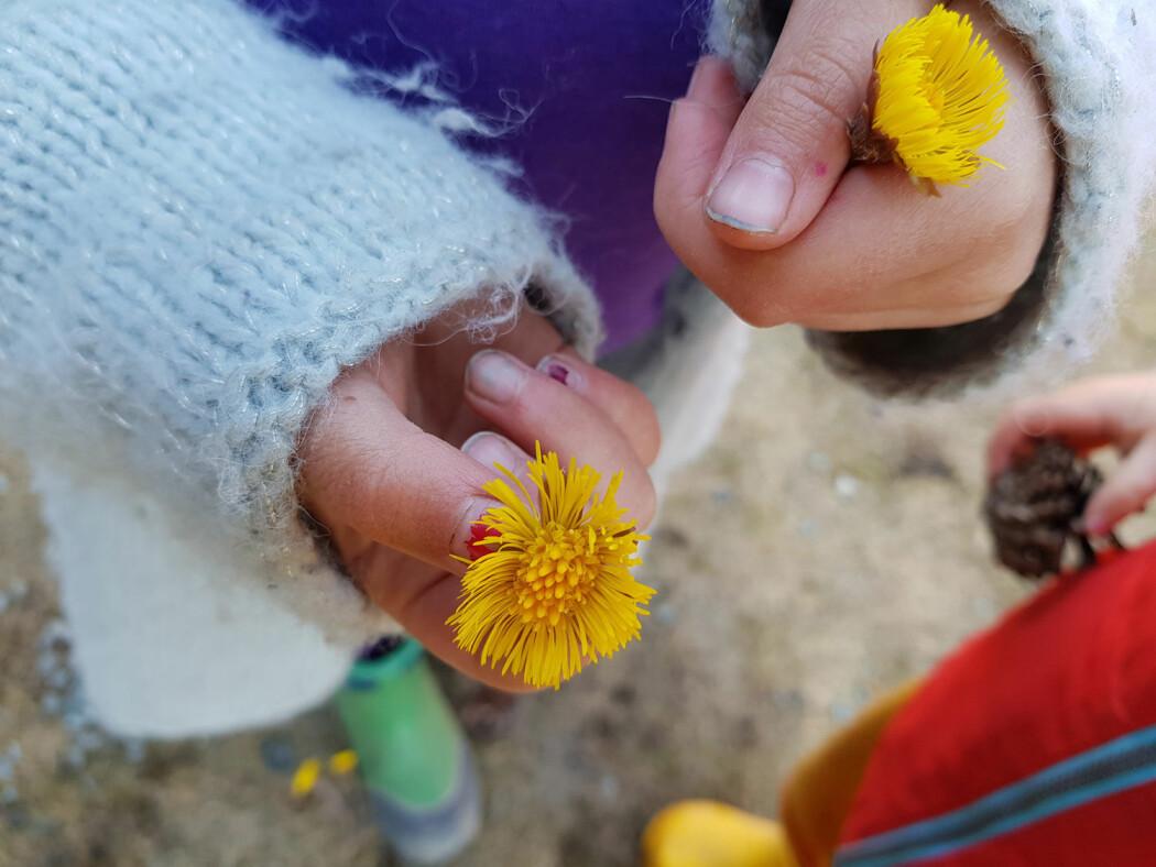 På denne tiden av året er det mange som mottar en nydelig håndfull med halshuggede hestehov fra den yngre garde. Men hva skal vi egentlig med stilken? Det fungerer jo fint å legge blomstene i en bolle vann. Foto: Magni Olsen Kyrkjeeide / NINA.