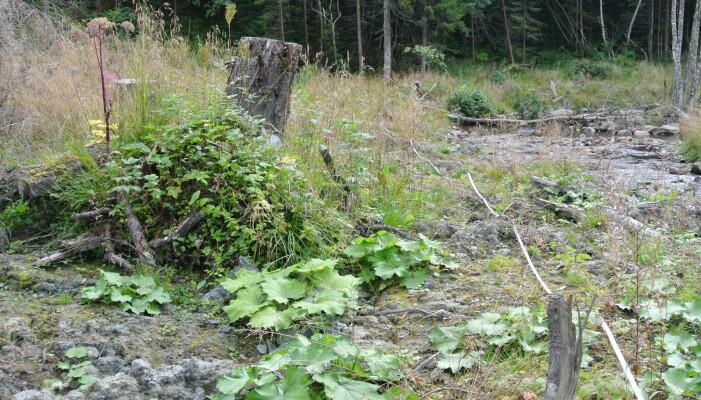 Åpen jord og leire er ypperlig for hestehov. Langs en rassikret elv i Stjørdal spretter det opp hestehov. Så sent som i august domineres fortsatt vegetasjonen av hestehovbladene. Her er det lite konkurranse og bladene vokser seg veldig store. Foto: Magni Olsen Kyrkjeeide