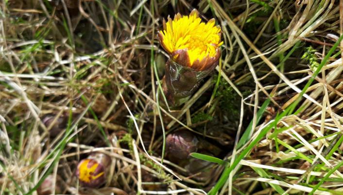 Hestehov vokser bokstavelig overalt, til glede for små og stor. Om våren blomstrer blomstene og etter det utvikler bladene seg. Hestehov er en kurvplante, legg merke til at det er mange små blomster tett i tett i en kurv. Foto: Anne C. Mehlhoop.