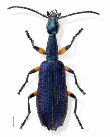 """Dette er en Agra grace, i Agraslekten. Bildet er tatt av forskeren Erwin selv, som også har gitt navnt til denne arten. (Foto: Erwin, T. L. - Erwin, T. L. (2010). <a href=""""https://creativecommons.org/licenses/by/4.0/"""">CC BY 4.0</a>)"""