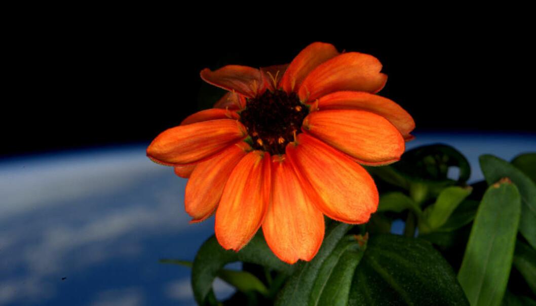 En frøkenhatt-blomst trivdes godt ombord i romfergen. (Foto: NASA)