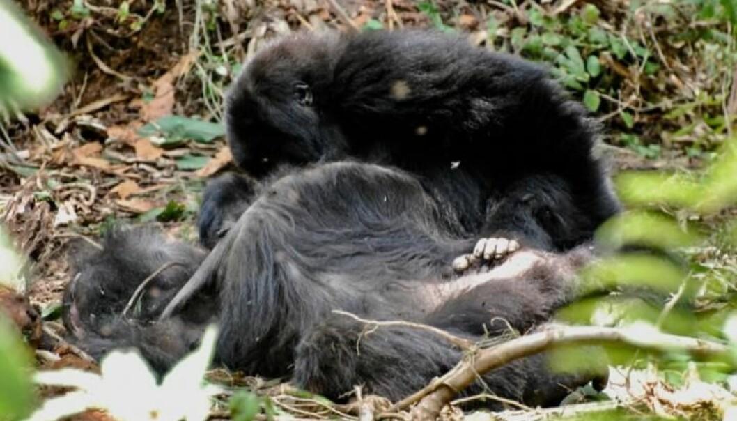 En ung fjellgorilla sørger over kroppen til sin avdøde mor i en nasjonalpark i Rwanda. (Foto: Dian Fossey, Gorilla Fund International, CC BY 4.0)