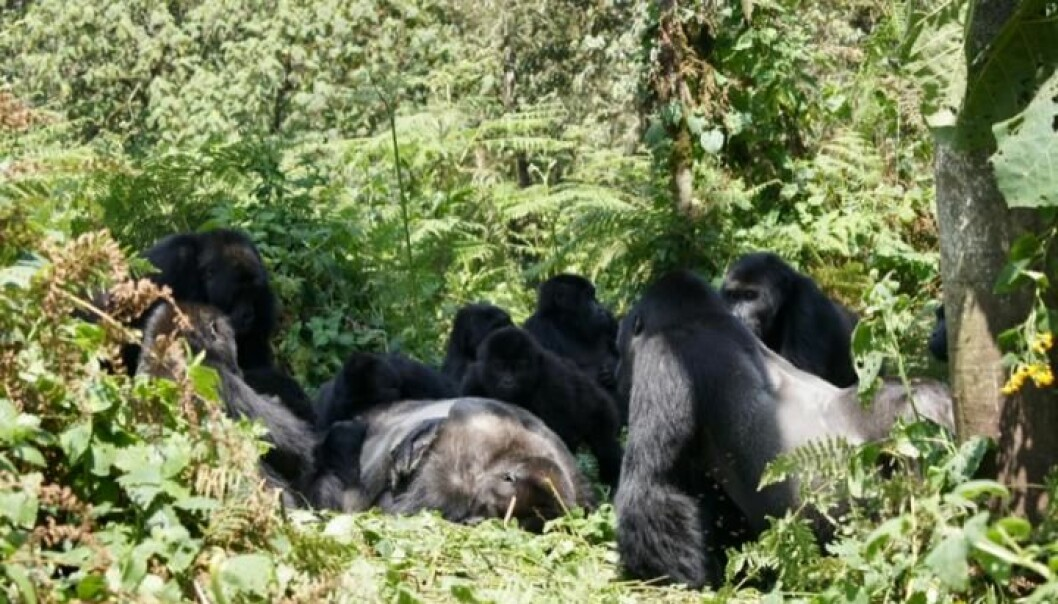 Gorillaene har samlet seg rundt en død kropp i <i>Kahuzi-Biega National Park </i>i Kongo. (Foto: Dian Fossey, Gorilla Fund International, CC BY 4.0)
