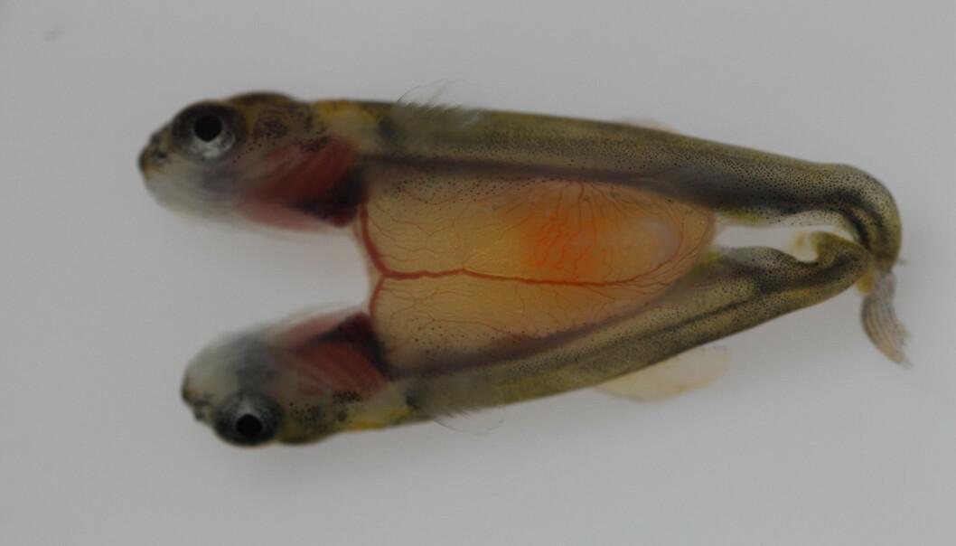 Blodkarsystemet hos siamesiske laksetvillinger viser tydelig. Plommesekken er det gulaktige området der disse tvillingene er sammenvokst. (Foto: Tom Hansen, Havforskningsinstituttet)