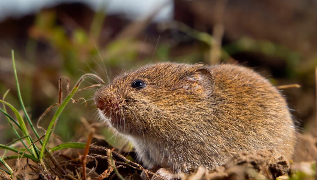 Forskere mener at skotske steinaldermennesker brukte mus som proteinkilde. Steinaldermenneskene spiste hovedsakelig en type markmus som kun forekommer på Orknøyene. Markmusa på Orknøyene er noe større enn markmusa på dette bildet (Illustrasjonsfoto: Rudmer Zwerver, Shutterstock, NTB scanpix)