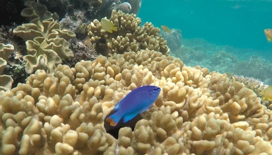 Hva gjør menn attraktive hos kvinner? Trondheim-forskere har gjort en svært grundig studie av kjønnsadferden til en liten korallfisk i Australia. Konklusjonen er at hunndyrs syn på hva som gjør hanner attraktive, kan variere svært mye. (Foto: forskningsprosjektet)