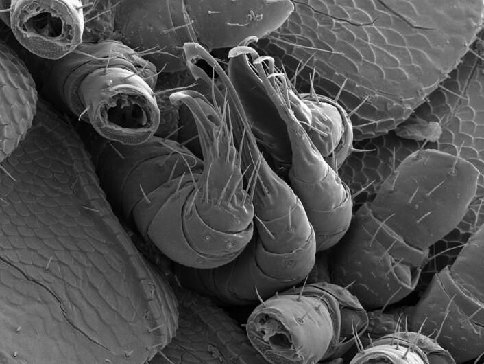 Tusenbeinets edlere deler - alle fire av dem. (Foto: Paul Marek, Virginia Tech)