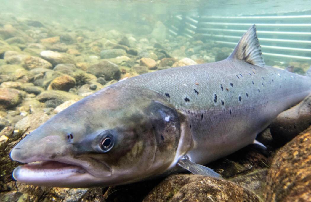 Innkryssing av gener fra rømt oppdrettsfisk vil medføre at laksen får eigenskapar som er mindre gunstige for overleving i naturen. (Foto: Øystein Paulsen, Havforskingsinstituttet)