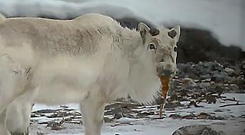 Klimaendringer på Svalbard: Reinen spiser tang for å overleve