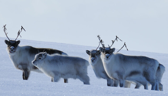 Klimaendringene gir tøffere forhold for disse reinsdyra om vinteren. (Foto: Erik Ropstad)
