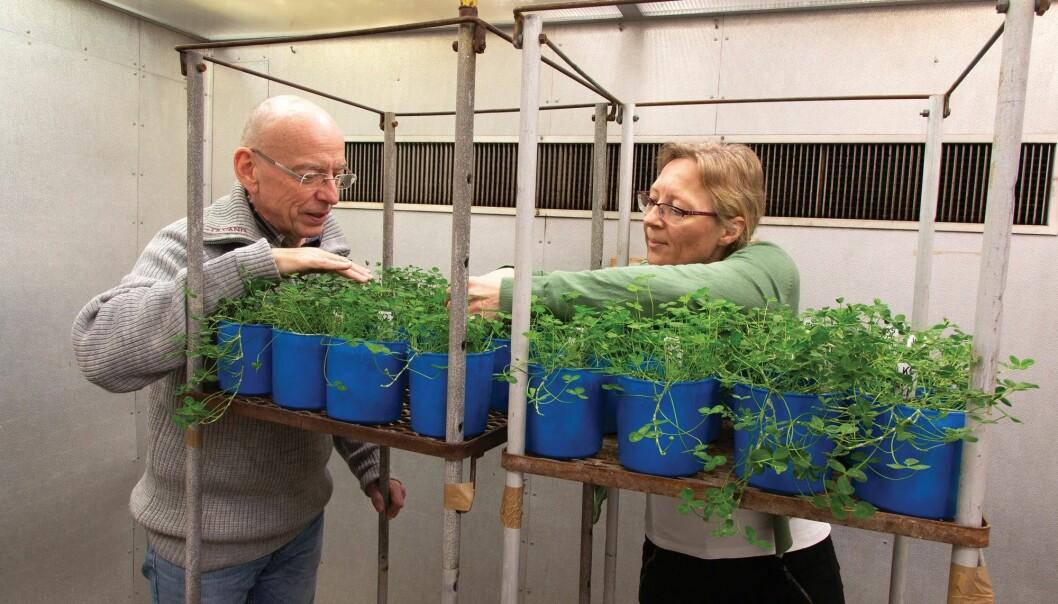 Frode Stordal og Ane Vollsnes undersøker hvordan planter tar skade av ozon. Det skjer i fytotronen, et avansert anlegg der det er mulig å teste hva som skjer med planter under ulike klimatiske forhold. (Foto: Yngve Vogt)