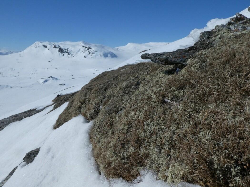 Selv om snøen fortsatt ligger dyp mange steder i fjellet, våres det også her. Plantene på rabbene venter på at frosten skal slippe taket så de kan komme i gang med sommerens gjøremål. Foto: Siri Lie Olsen / NINA.