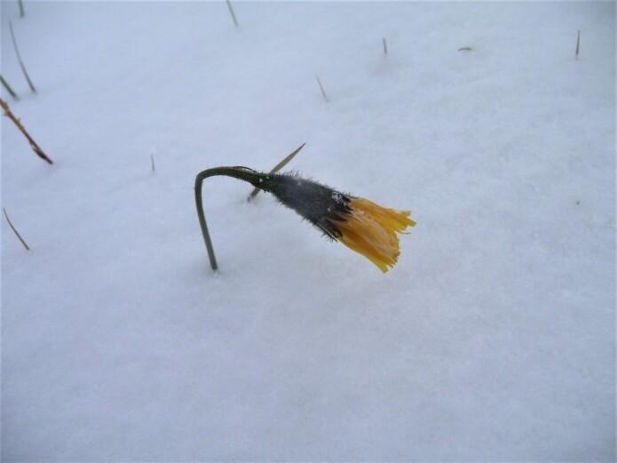 Denne fjellføllblommen tok seg vann over hodet. Det ble neppe produsert modne frø dette året. Foto: Siri Lie Olsen.